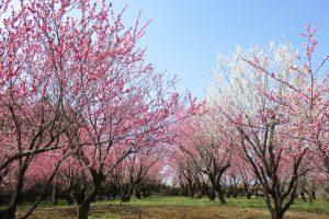 はーとふる農園飯能付近安楽寺の桃